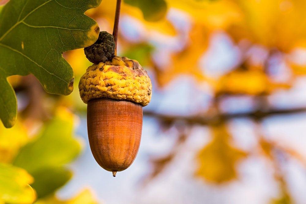 Žalud na větvi dubu symbolizuje podzim