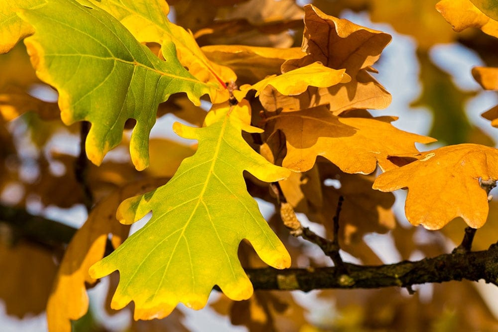 Podzimní listí na dubu